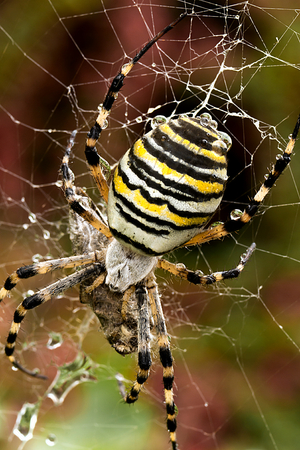 Macro of female wasp spider in her cobweb photo
