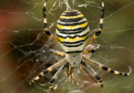 argiope: Macro of female wasp spider in her cobweb Stock Photo