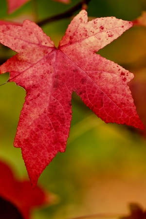 Maple leaf turned red in autumn