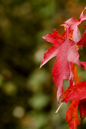 tempered: Maple leaf turned red in autumn