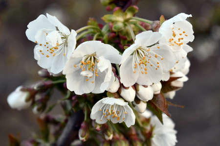 Lovely white almond flowers waiting to be pollinated Banco de Imagens