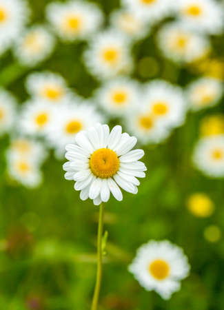 ox eye: a meadow of ox-eye daisies Stock Photo