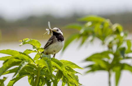 insectivores: wagtail with beak filled with damselflies to feed its chicks