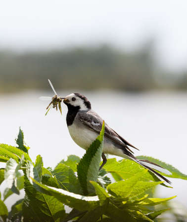 wagtail with beak filled with damselflies to feed its chicks