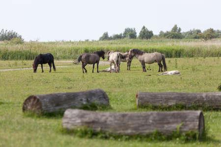 phenotype: herd of konik horses in the Oostvaardersplassen, netherlands Stock Photo