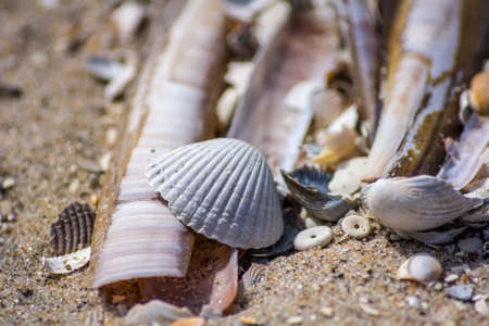 ensis: razor clam and scallop shells on the beach