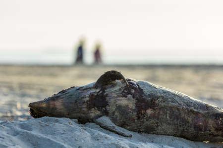 porpoise: dead harbour porpoise washed ashore