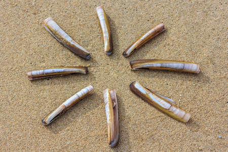 ensis: Antlantic razor clam backgrount texture Stock Photo