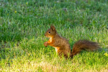 Croatian red squirrel feeding on the ground