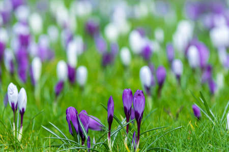 thaw: Field of purple and white crocus flowers floral background