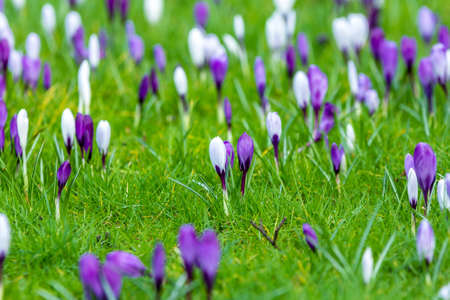 thaw: floral background purple white crocuses