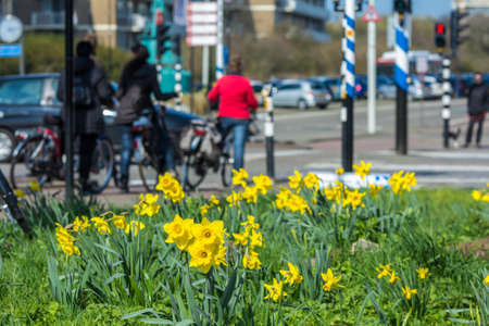 The Hague, the Netherlands - March 24, 2017: daffodils growing by a busy road crossing Editorial
