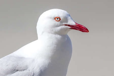 chroicocephalus: closeup of adult silvergull with red beak and eye ring