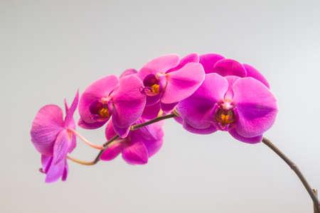 pink moth orchids Phalaenopsis