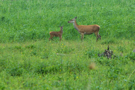 plassen: red deer fawn and hinds at Oostvaardersplassen, the Netherlands Stock Photo