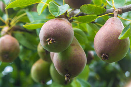 tasty pears ripening on the branch