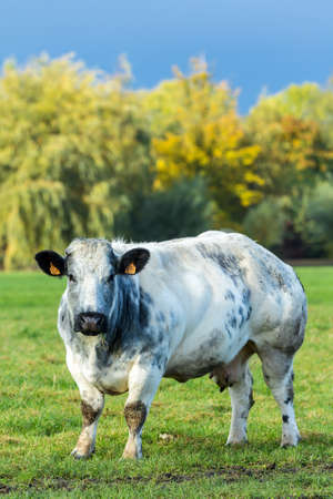 North Holland, the Netherlands - November 5, 2016: Dutch beef cow in a grass field Editorial