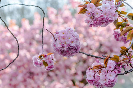 spring blooming cherry blossoms Stock Photo