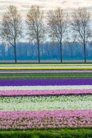 helder kleurrijk de lente Nederlands landschap met hyacintbloemgebied in Nederland