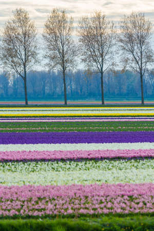 bright colourful spring dutch landscape with hyacinth flower field in the Netherlands Standard-Bild