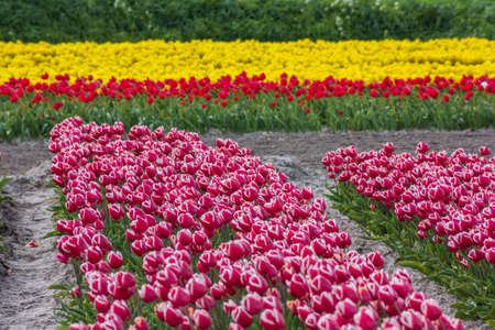 typical Dutch tulip fields in the spring Stock Photo