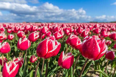 typical Dutch tulip fields in the spring closeup Stock Photo