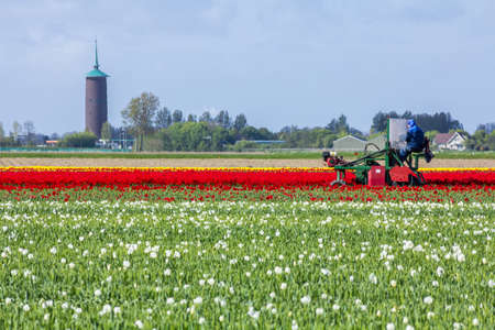 Middleharnis, the Netherlands -18 April 2014: stunning, vibrant tulip field with farm heading machine with tower in background