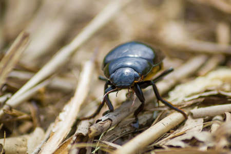 Dynastinae female rhinoceros beetle walking along vegetation on the ground Stock Photo