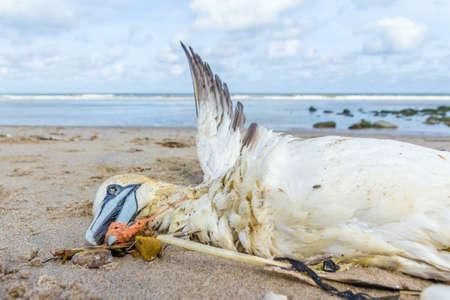 Alcatraces septentrionales muertos atrapados en una red de pesca de plástico arrastrados a tierra en la playa de Kijkduin La Haya