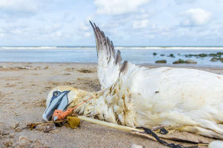 dead northern gannet trapped in plastic fishing net washed ashore on Kijkduin beach The Hague Zdjęcie Seryjne - 103751900