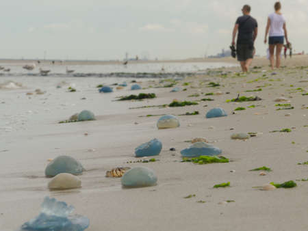 Kijkduin, The Hague, the Netherlands - July 28 2018: beachgoers walking among swarms of washed up jellyfish Redactioneel