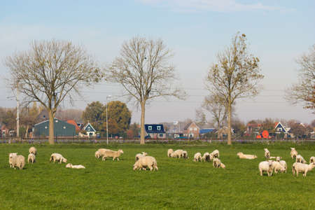 Noord Holland, the Netherlands - November 3 2018: Sheep grazing in North Holland farmland outside village on rich green pasture Imagens - 115967307
