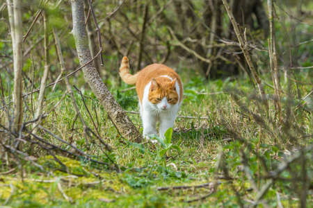 The Hague dunes, the Netherlands - April 14: wild roaming cat walking through forested dunes land looking for prey Imagens - 115967490
