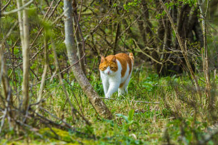 The Hague dunes, the Netherlands - April 14: wild roaming cat walking through forested dunes land looking for prey