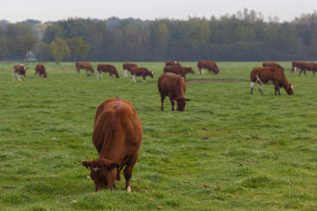 brown and white cattle in a lush summer pasture in dutch field
