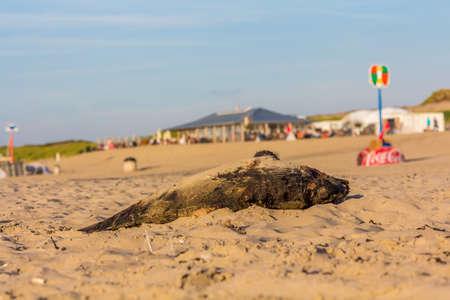 Kijkduin, The Hague, the Netherlands - September 1 2016: dead harbour porpoise on the beach near beach cafes Imagens - 115967499