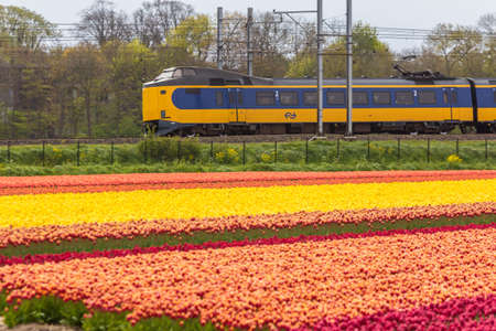 Zuid Holland, the Netherlands - 23 April 2017: Dutch electric train passing through typical Dutch spring flower fields Imagens - 115967543