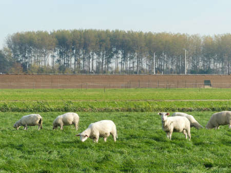 Noord Holland, the Netherlands - November 3 2018: Sheep grazing in North Holland farmland outside village on rich green pasture