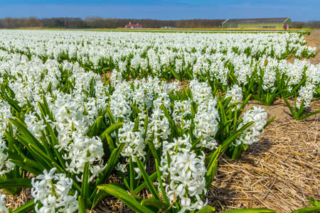 Lisse, the Netherlands - April 14 2018: rows of white dutch common  hyacinth flowers close up low angle of view with blue sky background