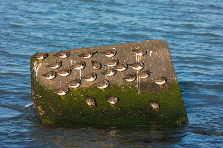 flock of ruddy turnstone Arenaria interpres resting on large stone in the water on the Dutch coast near Hoek van Holland Stock Photo