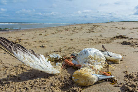 dead northern gannet trapped in plastic fishing net washed ashore on Kijkduin beach The Hague, the Netherlands Imagens - 121767192