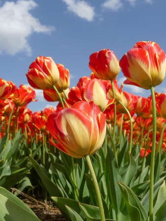 stunning orange and yellow dutch tulips with blue sky background Imagens
