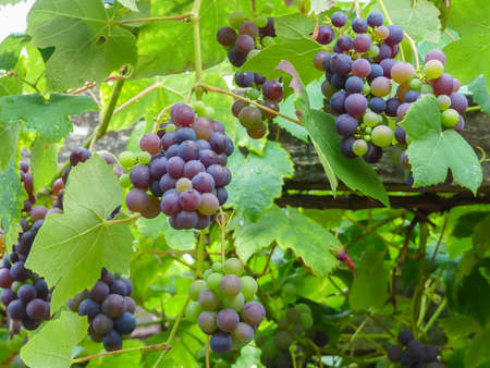 colorful, red and green grapes growing on vibrant green grapevine, food background