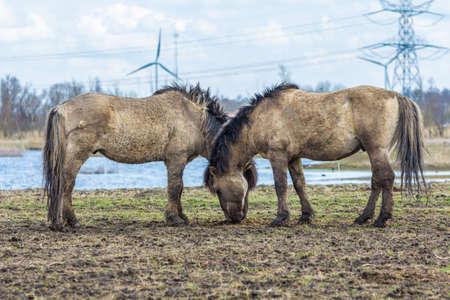 Konik horses Oostvaardersplassen, the netherlands