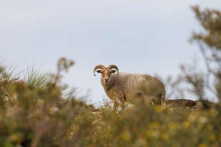 ancient free roaming drenthe heath sheep grazing in the dunes of The Hagues westduinpark natura 2000 coastal park