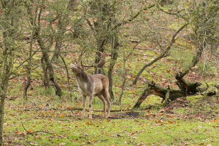 fallow deer stag roaring during the autumn rut in green wooded forest Imagens