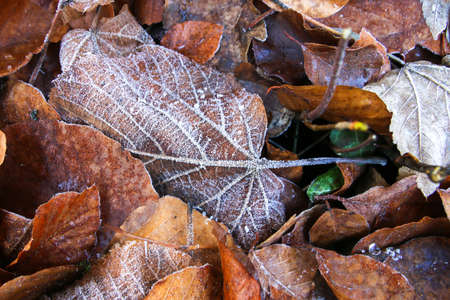 frost covered leaf during a cold snap in bed of forest leaf litter 版權商用圖片