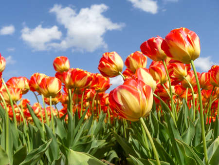 Beautiful orange and yellow tulip fields around Lisse in April