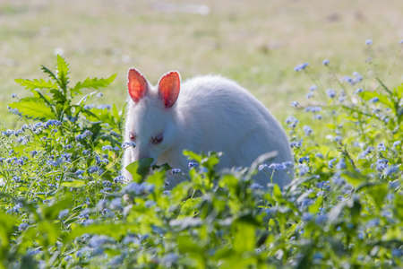 Albino Bennetts wallaby
