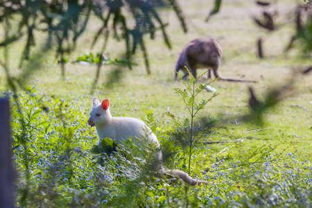 rare white albino wallaby grazing on Bruny island Tasmania Imagens